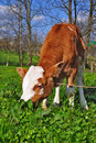 Free The Calf On A Summer Pasture Stock Photo - 20546440