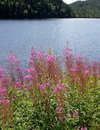 Free Willowherb By A Lake Stock Photo - 20548880