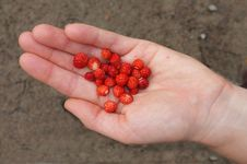 Free A Handful Of Wild Strawberries Stock Images - 20540654