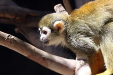 Free Squirrel Monkey Stock Photography - 20541232