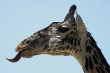 Free Giraffe Stock Photos - 20541423