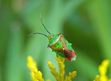 Free Shield Bug Royalty Free Stock Images - 20541429