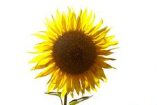 Free Beautiful Yellow Sunflower Stock Photography - 20542012