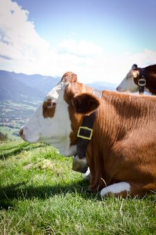 Free Cow In The Alps Royalty Free Stock Photo - 20542145