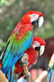 Free Pair Of Macaw Stock Photo - 20542750