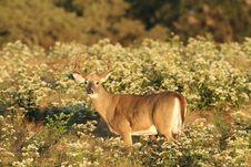 Free Whitetail Buck In Velvet. Stock Photo - 20542930