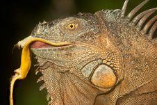 Free Iguana Stock Images - 20544204