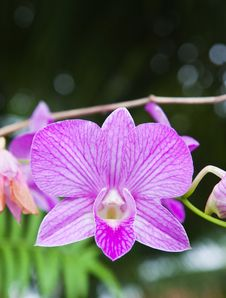Free Beautiful Purple Orchid Royalty Free Stock Photo - 20544415