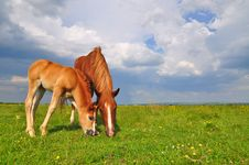 Free Foal With A Mare On A Summer Pasture. Stock Photo - 20545910
