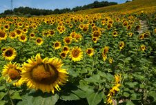 Free Sunflower Hill Stock Images - 20545934