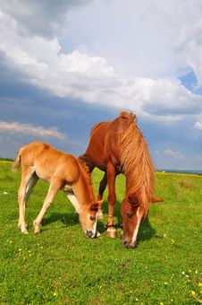 Free Foal With A Mare On A Summer Pasture. Royalty Free Stock Image - 20545936