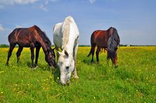 Free Horses On A Summer Pasture Royalty Free Stock Photo - 20545955