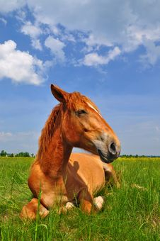 Free Horse On A Summer Pasture Royalty Free Stock Photos - 20545978