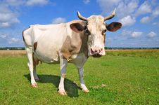 Free Cow On A Summer Pasture Royalty Free Stock Images - 20546289