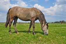 Free Horse On A Summer Pasture Royalty Free Stock Images - 20546459