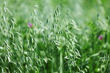 Free Spikelets Of Oats Royalty Free Stock Photography - 20547097