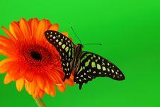 Free Graphium On Orange Gerber Royalty Free Stock Photo - 20547125