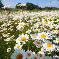 Free Field With White Daisies Stock Image - 20547221