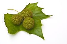 Late Summer Chestnuts And Leaves Stock Photo