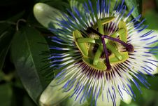 Free Kiwi Flower Stock Photo - 20548650