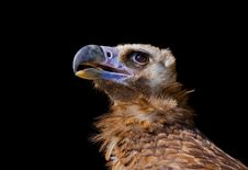 Free Vulture Royalty Free Stock Image - 20549596