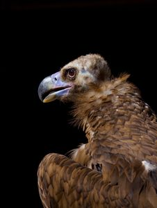 Free Vulture Royalty Free Stock Photos - 20549608