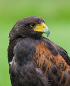 Free Harris Hawk Stock Image - 20549731