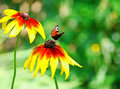 Free Butterfly On Yellow Flower Stock Photography - 20552352