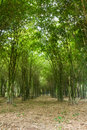Free Bamboo Trees Growing Stock Photo - 20559420