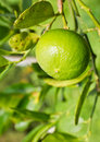 Free Green Lemon On The Tree Royalty Free Stock Photos - 20559598