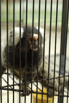 Free The Sad Captive Monkey In The Cage Royalty Free Stock Photos - 20550578