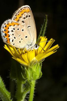 Free Lycaena Dispar / Large Cooper Butterfly, Female Royalty Free Stock Photos - 20551188