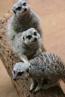 Free Meerkats On The Timber Royalty Free Stock Photos - 20552088