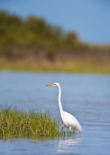 Free Great Egret Royalty Free Stock Image - 20552256