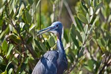 Free Tri-Colored Heron Royalty Free Stock Photography - 20552287