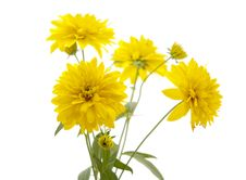 Free Yellow Flower Royalty Free Stock Photo - 20552295