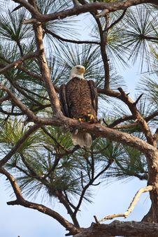 Free Bald Eagle Royalty Free Stock Photo - 20552315