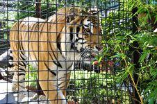 Free Bengal Tiger Stock Photos - 20552323
