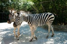 Free Two Zebras Royalty Free Stock Image - 20552326