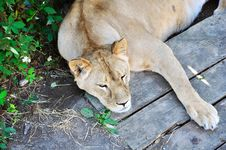 Free Napping Lioness Royalty Free Stock Images - 20552329