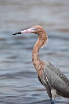Free Tri-Colored Heron Royalty Free Stock Images - 20552369