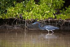 Free Tri-Colored Heron Stock Images - 20552384