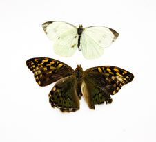 Free Two Beautiful Tropical Butterflies Stock Photography - 20552762