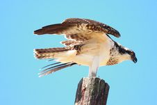Free Osprey S First Flight Royalty Free Stock Photo - 20554625