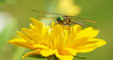 Free Close Up Dragonfly On Flower. Stock Photo - 20555410