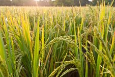 Free Rice Paddy Royalty Free Stock Images - 20556259