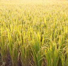 Free Rice Paddy Stock Photo - 20556290