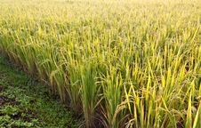Free Rice Paddy Stock Images - 20556324