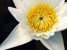 Free White Waterlily Royalty Free Stock Photography - 20556407