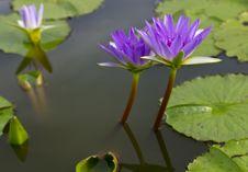 Free Violet Lotus Stock Photos - 20556443
